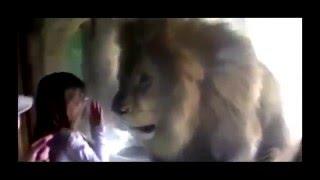 Esta Niña Tira Un Beso A Un León, Pero… ¡No Se Esperaba Esta Reacción!