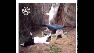 funny animals doing IDIBALA challenge