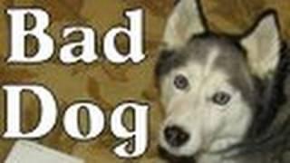 Guilty Dog! Bad Dog! Shiloh Ate The Krispy Kreme Doughnuts Siberian Husky
