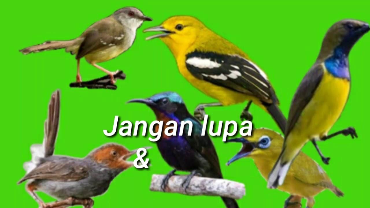 Suara Pikat Burung Sapujagat Untuk Semua Burung Kecil Mp3 Youtube