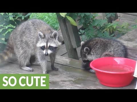 Baby raccoon receives 'Spring Cleaning' from his mother