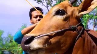 Karapan Sapi, Wujud Tradisi dan Kebanggaan - Indonesia Bagus