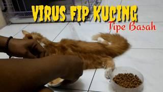 VIRUS FIP KUCING TIPE BASAH