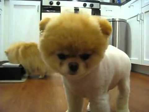 Boo O Cachorro Famoso Do Youtube Youtube