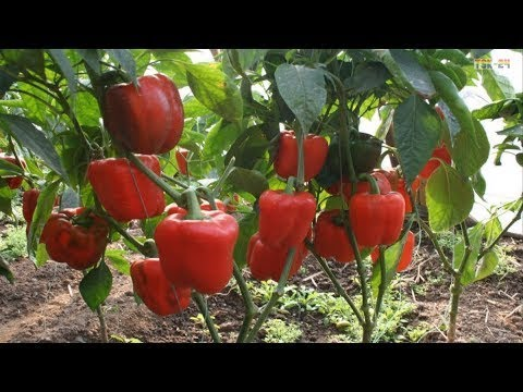 WOW! Amazing Agriculture Technology - Peppers ❤
