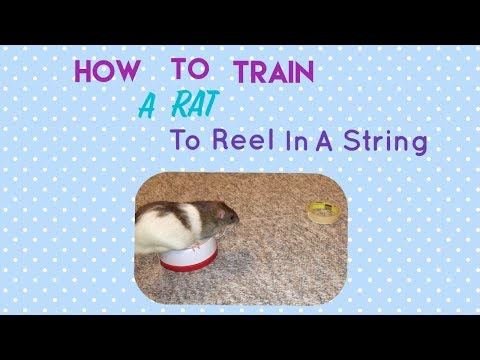 How To Train A Rat To Reel In A String