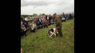 12 Всеросийская выставка охотничьих собак 2017 Тула