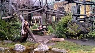 видео Что ест панда?