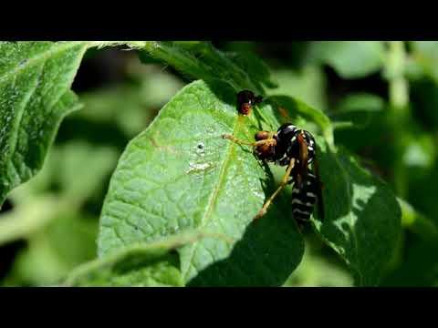 ПАН121 Природная защита картофеля от колорадского жука. Полезные насекомые огорода сада