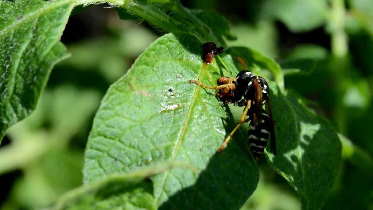 ПАН121 Супер средство защиты картофеля от колорадского жука. Насекомые помощники