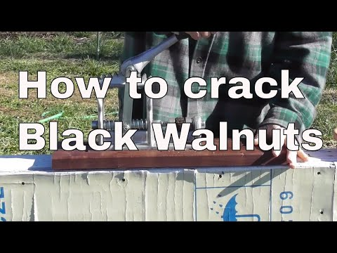 How to crack black walnuts