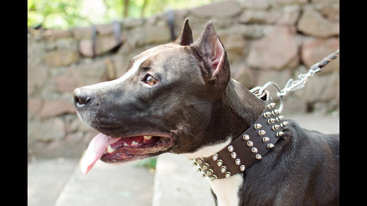 Dog Collar Amstaff