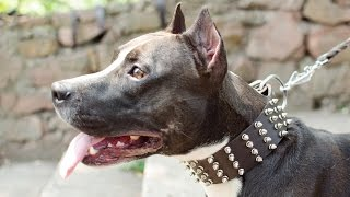 Amstaff, Black Russian Terrier and other dogs wearing Spiked Wide Dog Collar