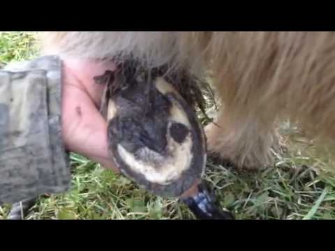How to trim horses hooves: barefoot trim on my mini horses/pony