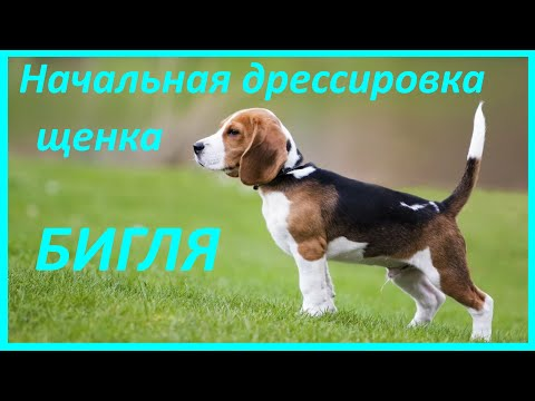 275. Начальная дрессировка щенка бигля