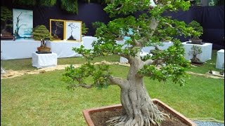 Indian Bonsai Association, Delhi Exhibition Sep 2016  Part -1