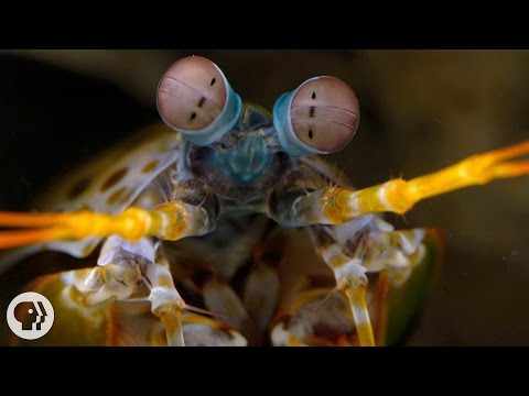 The-Snail-Smashing-Fish-Spearing-Eye-Popping-Mantis-Shrimp