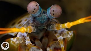 The Snail-Smashing, Fish-Spearing, Eye-Popping Mantis Shrimp | Deep Look