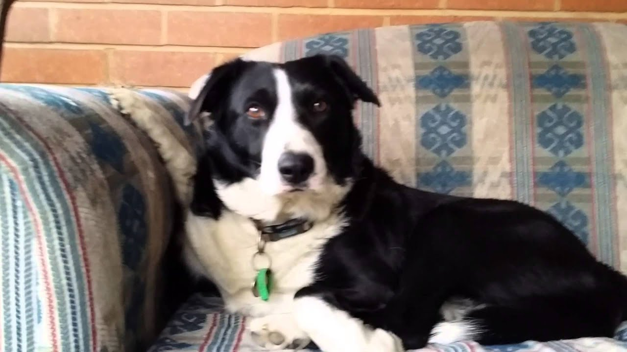 Michael The Short Haired Border Collie Youtube