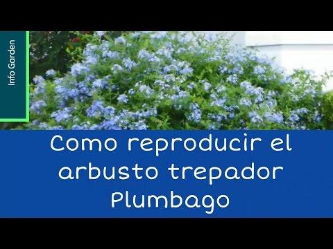 Como reproducir el arbusto trepador Plumbago(Celestina, Jazmín azul )