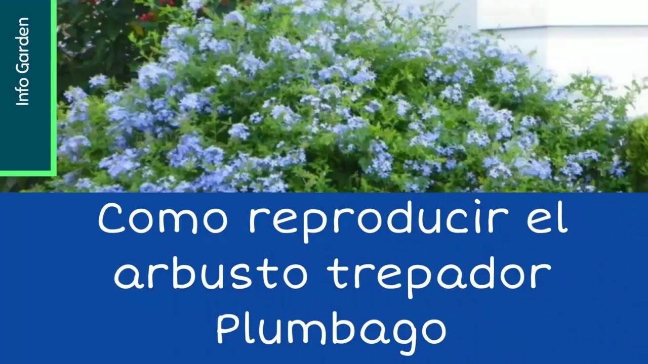 Como reproducir el arbusto trepador plumbago celestina for Arbustos de jardin
