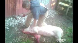 Indiana Hillbilly Pig Slaughter