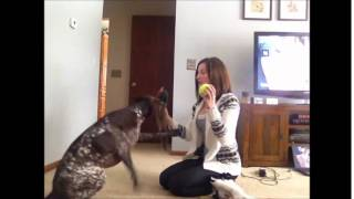 German Shorthaired Pointer Knows Toy Names