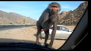 Monkey at Taif قرود الطائف