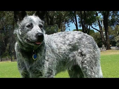Australian Cattle Dog. Tricks. Louie from Australia