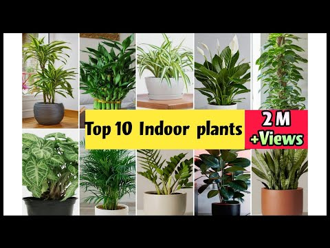 Best Indoor Plants India | Best Indoor Plants for Clean Air | Top 10 Indoor plants in India