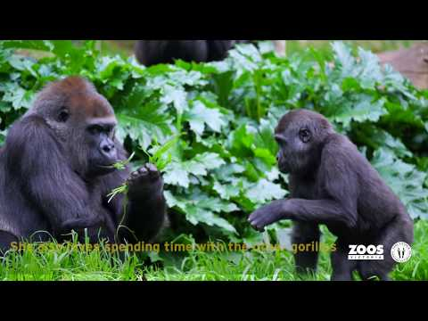 Western Lowland Gorilla Family at Melbourne Zoo