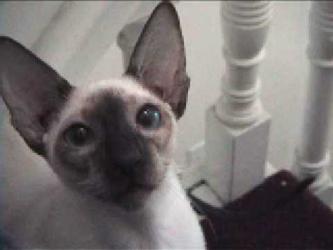 Hilarious Siamese stomps up stairs!