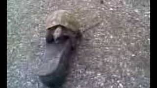 turtle and shoe