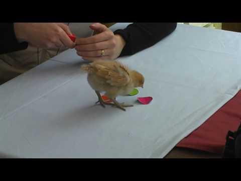 ChickTraining.mpg