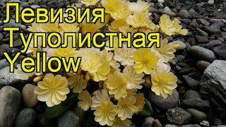 Левизия туполистная Йелоу. Краткий обзор, описание характеристик lewisia cotyledon Yellow