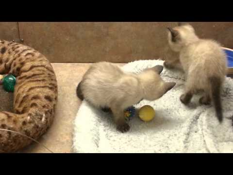 AWESOME KITTENS PLAYING- Siamese and a Bengal