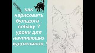 Как нарисовать бульдога , собаку ? уроки рисования для начинающих !