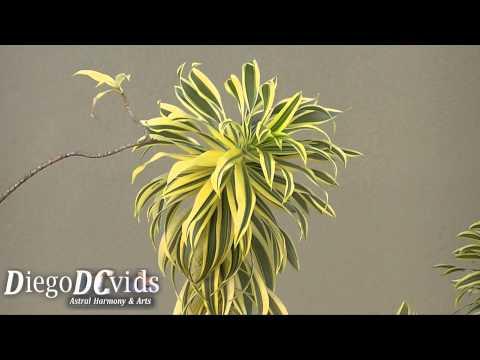 Dracaena reflexa - Song of India (Asparagaceae) Pleomele (Florianópolis - Brasil)