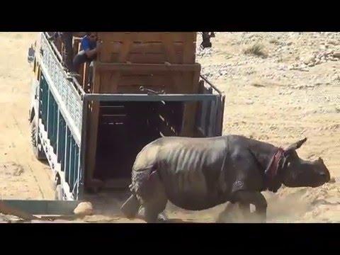 Rhino Transfar from Chitwan to Bardiya Feb 2016