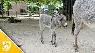 Krefelder Zoo: Das ist Eselbaby Chalisa