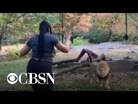 Carmine - Lady Dances And Taunts Lion After Climbing Into Exhibit At The Bronx Zoo