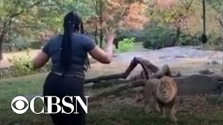 woman-climbs-into-lion-exhibit-at-nyc-zoo