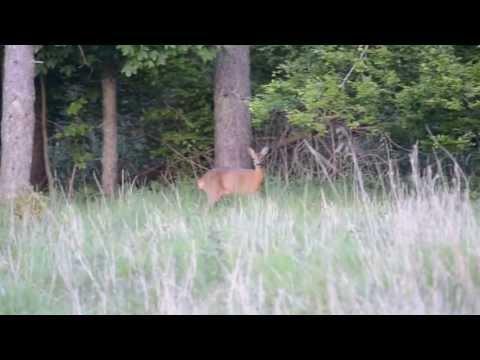 Deer alarm call
