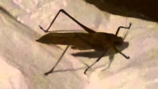 Suara belalang asli buat masteran