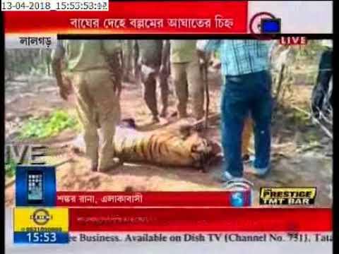 Royal Bengal Tiger's body found at lalgarh