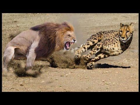 Download Shuhudia Nan Mkali Simba na Chui Pambano Ona Kilichotokea Leopard Vs Lion ,Lion Vs Cobra