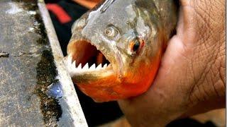 Кормление пираний мясом, стая хищных рыб живущая аквариуме.