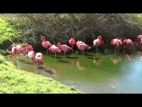 Very beautiful pink flamingo birds