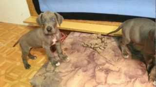 Vrh C 10.1.2013 Ii. Great Dane Puppies For Sale!