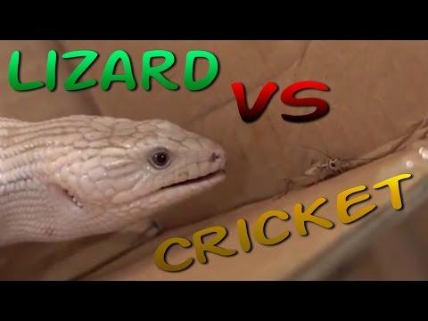 Brutal Killer Lizard Hunts Cricket - Blue Tongue Skink
